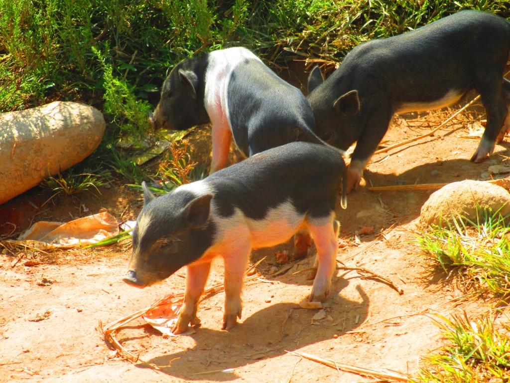 Maialini in un villaggio a Sapa, VIetnam