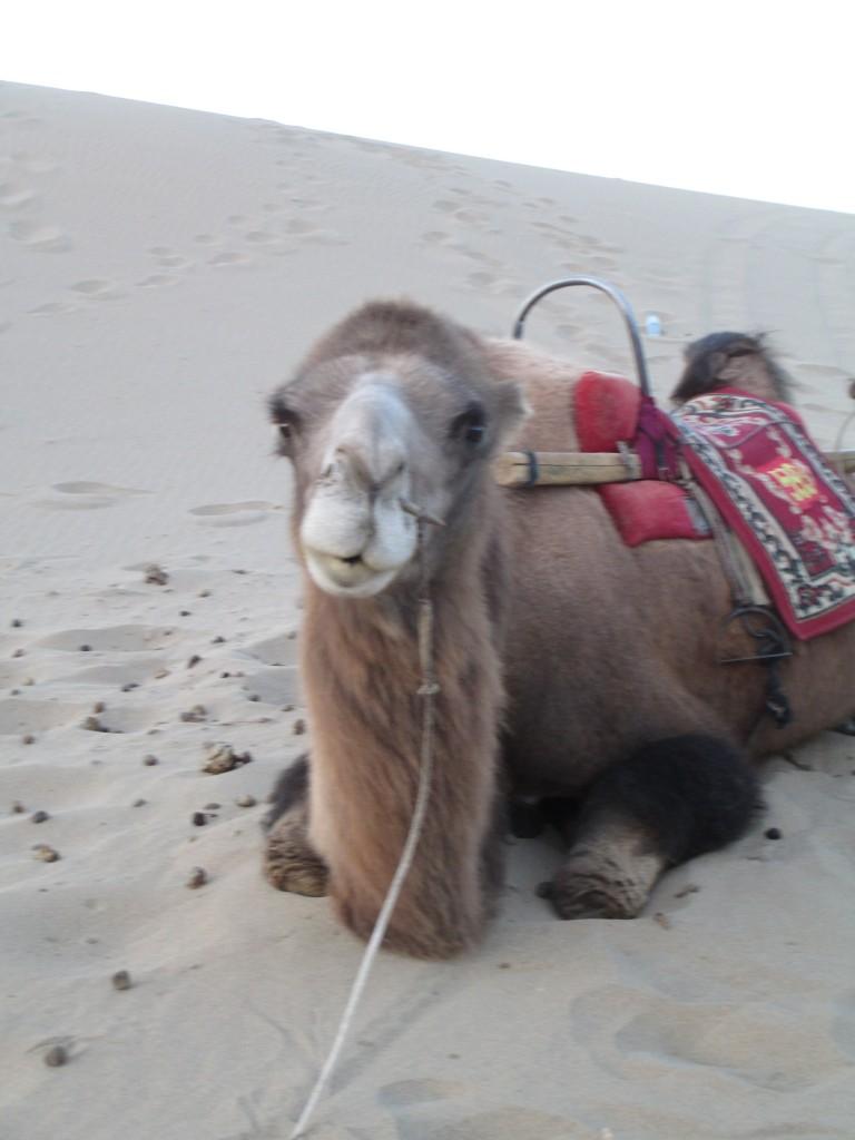 """Silvia, il """"mio"""" cammello a Dunhuang"""
