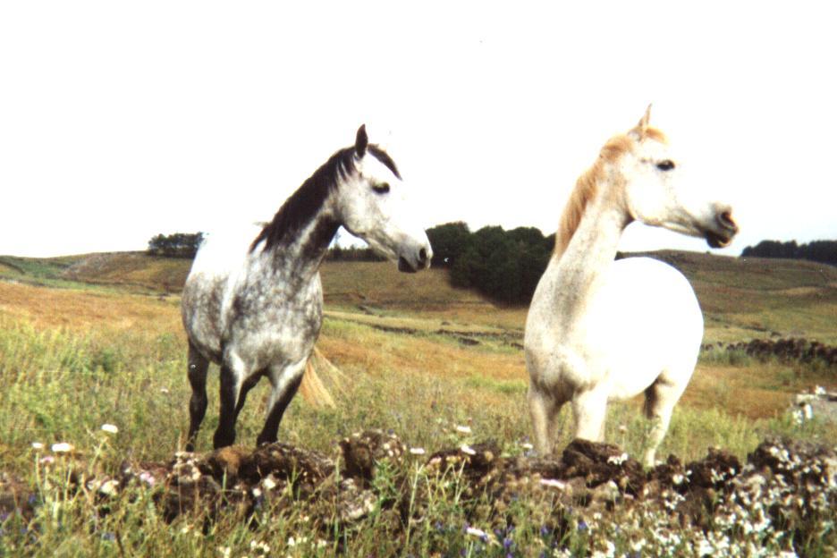 cavalli a El Hierro, la più piccola delle isole Canarie
