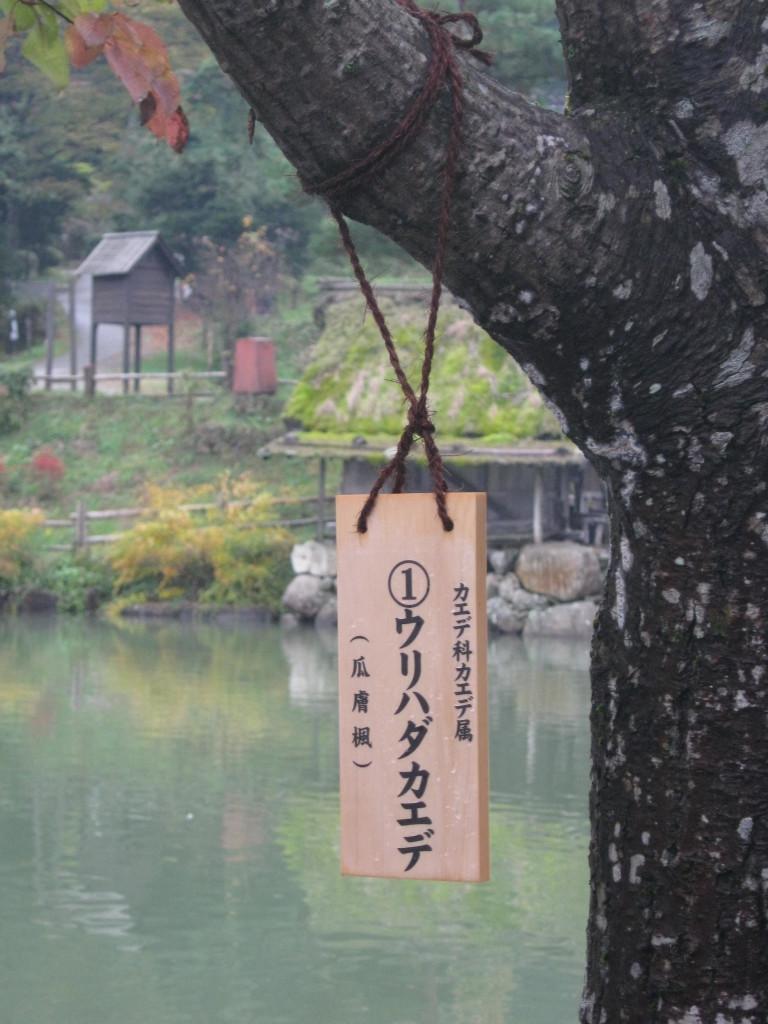 albero a Takayama, Giappone