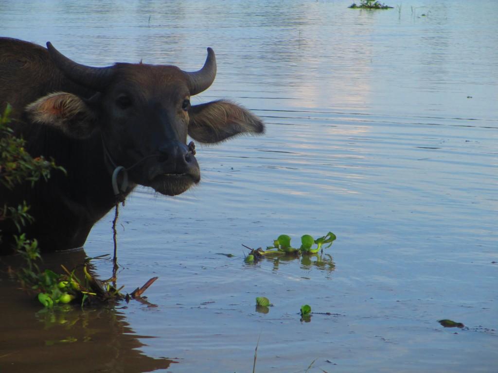 Buffalo nel Mekong Delta, VIetnam