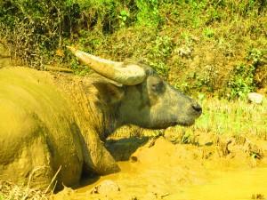 Buffalo nel fango, Sapa