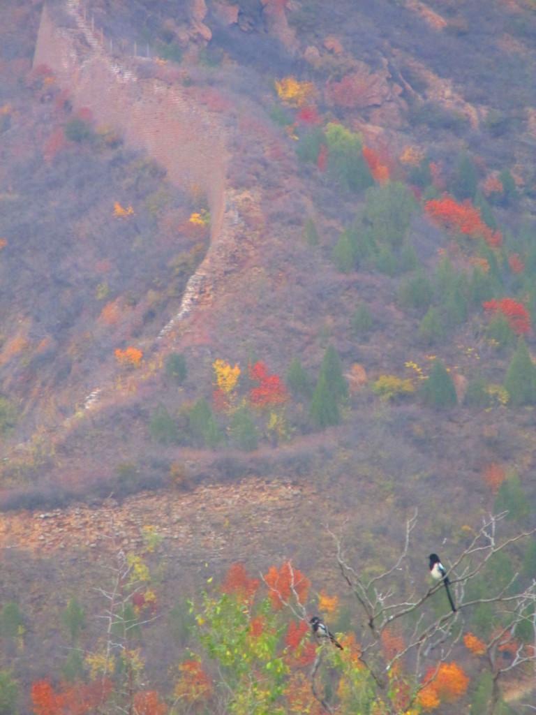 Uccellini sulla grande muraglia, Cina