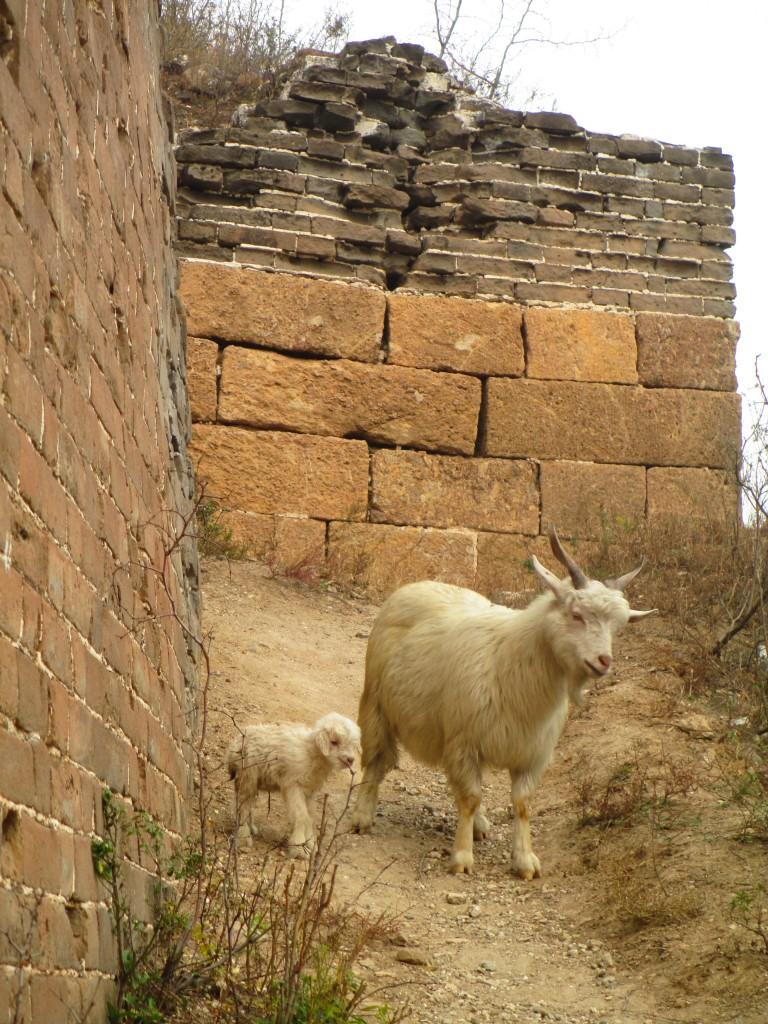Mamma capra e capretto sulla grande muraglia