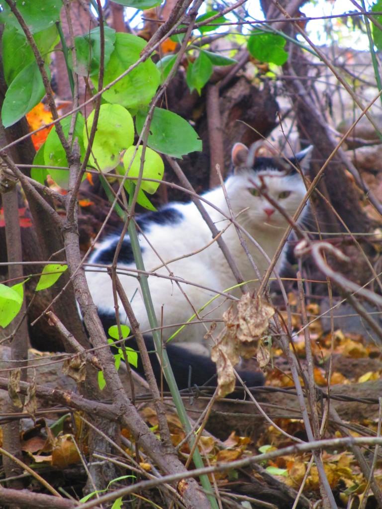 Gatto bianco e nero sulla grande muraglia