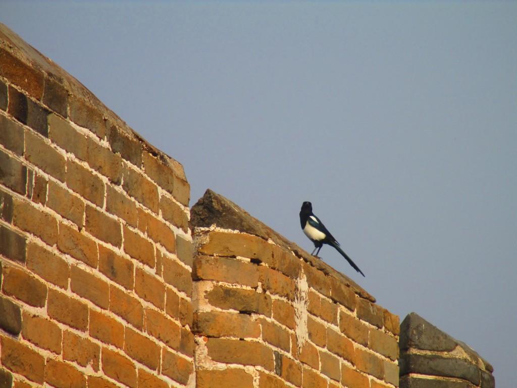 Un elegante uccellino fa capolino dalla grande muraglia