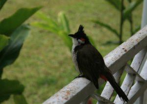 Bul Bul, uccellino a Mauritius