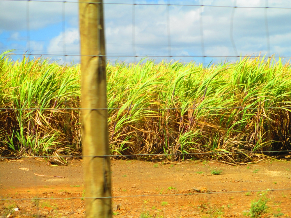 Canne da zucchero alle Mauritius