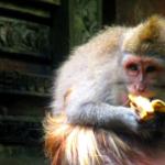 Le simpatiche scimmiette di Ubud
