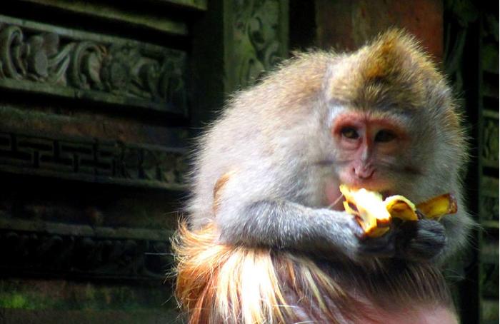 scimmia a ubud